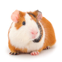 Guinea Pig Isolated.
