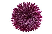Chrysanthemum Flower Isolated