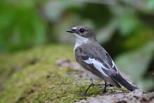 European Pied Flycatcher. Bird In Spring Forest, Male. Ficedula Hypoleuca