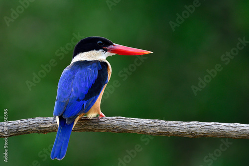 Stampa su Tela lovely blue wing black head and fresh red beak calmly sitting on wooden branch i