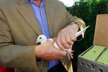 A White Dove Or Carrier Pigeon