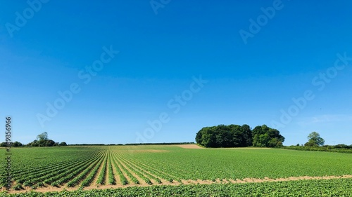 Fotografie, Obraz Field of potatoes in May with a clear blue sky, North Yorkshire, England, United
