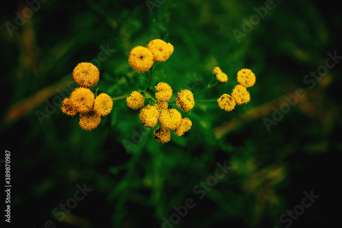 Fotomural yellow flower on a green background in autumn meadow in close-up