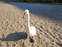 White Swan Walks Along The Sho...