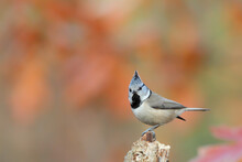 Crested Tit. Bird In Forest. Lophophanes Cristatus