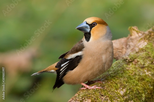 Photo Hawfinch. Bird in spring. Coccothraustes coccothraustes