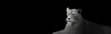 African Lion Portrait On Black Background, Spectacular Wild Animal In Shadow, Proud Dreaming Panthera Leo Looking Forward. Low Key Photo With Lioness And Copy Space Toned In Black And White Colors.