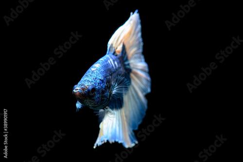 Blue fighting fish on black background Fototapet