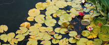 In The Pond, Water Lilies Are Red And White With Large Green Leaves Floating Around Them.