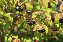 Closeup Shot Of Blackberries R...