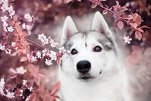 A Beautiful Siberian Husky Dog...