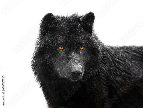 Portrait of a black canadian wolf isolated on white background.