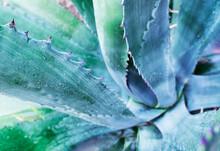 Large Cactus Agave Close-up Wi...