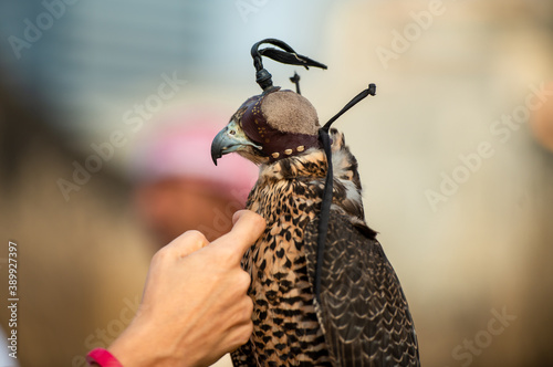 Fotografiet Portrait of a Falcon with a cap on his head, showing his beak and beautiful feat