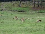 vicuñas andinas