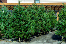 Variety Of Evergreen Pine And Fur Trees On Display At A Seasonal Christmas Tree Lot
