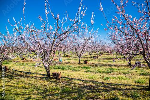 Photo Abricotier en fleur dans la campagne française.