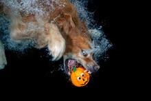 Golden Retriever Dog With Orange Halloween Pumpkin Under Water