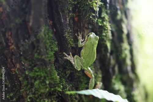 Fotografiet アマガエル 緑ガエル 木の幹 カエル 爬虫類