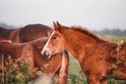 Vászonkép portrait of a foal