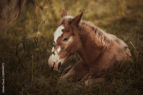 Canvastavla foal sleeping in the field