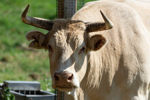 Typical Brown Cow With Horns In The Field
