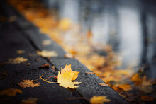 Yellow Maple Leaves On The Asphalt Next To A Puddle.