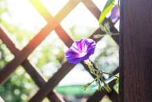 Beautiful Morning Glory Flower Growing On A Wooden Hedge Opposite The Sun. Selective Focus.
