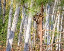 Bobcat Kitten Climbing A Pine Tree In A Birch Forest