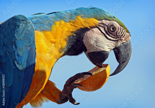 Yellow and blue winged macaw. Fototapete
