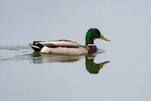 Male Mallard Duck Swims To Right Along The Reflective Surface Of The Pond Water Leaving Ripples Behind.