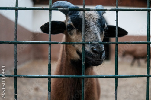 Papel de parede Closeup view: brown goat with horns looking out from a cage