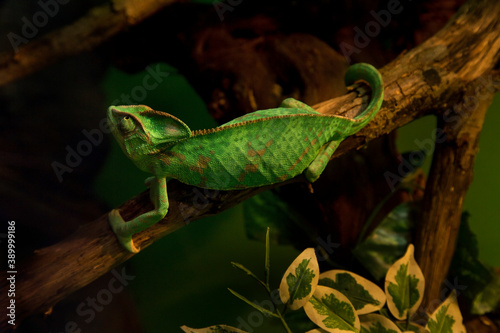 Canvastavla The panther chameleon (Furcifer pardalis).