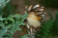 Closeup Shot Of A Dried Flower For Artichoke Seeds