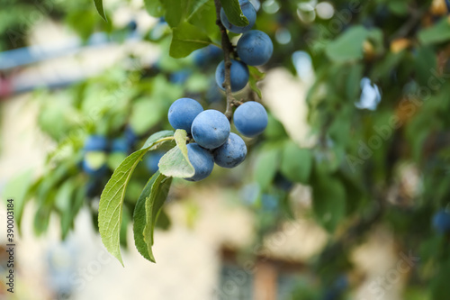 Canvastavla Tasty sloe berries on bush outdoors, closeup