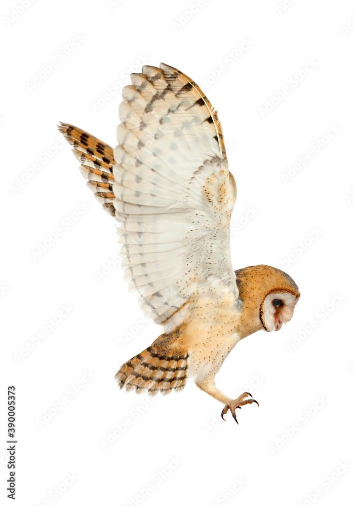 Fototapeta Beautiful common barn owl flying on white background