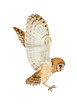 Beautiful common barn owl flying on white background