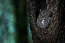 Eastern Screech Owl Seeping In A Hollow Trunk