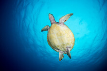 A Sea Turtle Swims To The Surface For A Breath