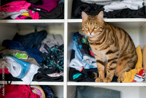 Selective focus shot of a domesticated Bengal cat sitting on a closet Fototapet