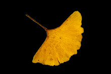 A Single Yellow Leaf Of A Gingko Tree On A Black Background. Maidenhair Tree. Gingko Biloba. Ginkgophyta. Autumn Leaves.