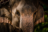 Fototapeta Sawanna - Close up an elephant truck holding green grass for eat in vintage style  background