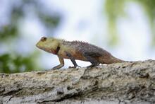 Tree Lizard Walking In Tree