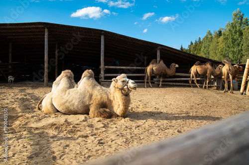 white camel lies on the sand on the farm in the background of other camels Canvas