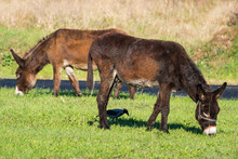 Two Mules And A Crow Eating Together On A Warm Autumn Day