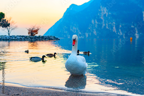 Cuadros en Lienzo swans and ducks on lake Garda against of a picturesque sunset and mountains