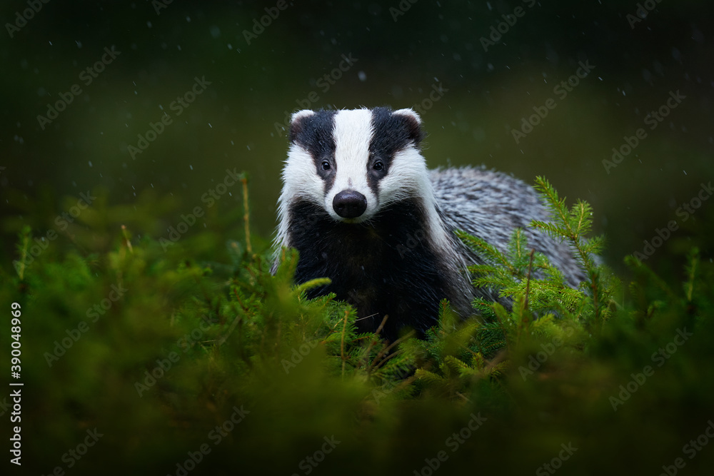 Fototapeta Badger in the green forest. Cute Mammal in environment, rainy day, Germany, Europe. Wild Badger, Meles meles, animal in the wood.