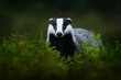canvas print picture - Badger in the green forest. Cute Mammal in environment, rainy day, Germany, Europe. Wild Badger, Meles meles, animal in the wood.