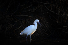 White Bird With Tree Roots Near The River, Evening Back Light. Snowy Egret, Egretta Thula, In The Nature Habitat, In The Water, Tarcoles River, Costa Rica, Wildlife Nature.
