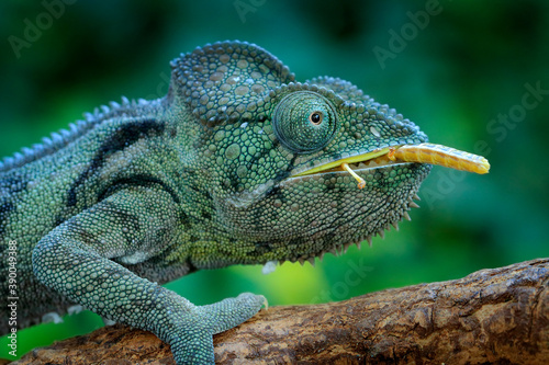 Chameleon hunting insect with long tongue Fototapeta